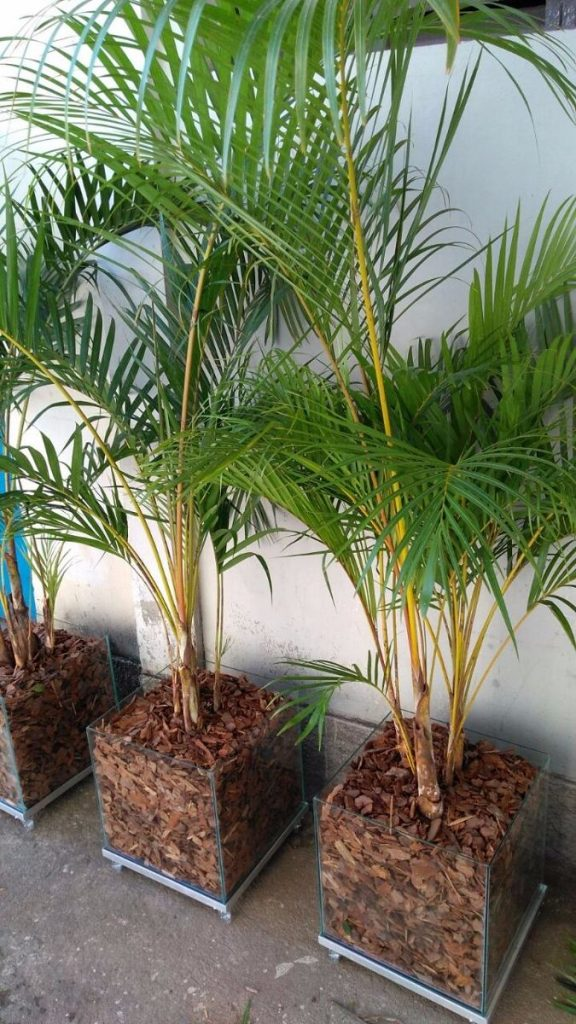 Originally from Africa, it is one of the most popular small palm trees in the world.